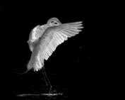 KAKY ART - Portrait of a great white egret