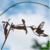 MB kolibrie
