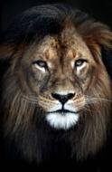 KAKY ART - Lion