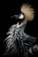 KAKY ART - Crowned Crane's Portrait